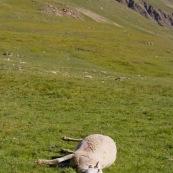 Brebis morte en montagne, Ètendue ‡ terre dans le paturage des alpes.