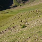 Brebis en montagne dans les alpes. Moutons.