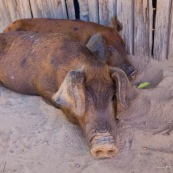 Cochon.