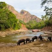 Cochons dans un beau paysage de montagnes en Bolivie, rivière, s'abreuvent. AMNI Rio grande valles crucenos .