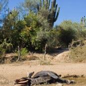 Vache morte dans un endroit désertique. Bolivie.
