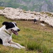 Chien de berger (ou chien de troupeau) au premier plan, avec le troupeau de brebis derriËre, et les bergers prodiguant des soins.