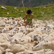 BergËre (berger) au milieu de son troupeau de brebis, en train d'attraper une brebis blessÈe pour la soigner.