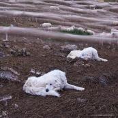 Troupeau de brebis rentrant le soir dans leur enclos. Filé, temps de pose long. Les deux chiens de berger (patous) se reposent au premier plan. En montagne, dans les alpes, travail des bergers.