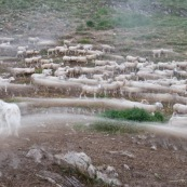 Retour du troupeau de brebis menÈ par le berger, dans les alpes,  le soir, ‡ la cabane de berger et son enclos. Le chien de berger (patou) veille sur le troupeau.