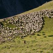 DÈpart de la bergËre et de son chien avec son troupeau de brebis en montagne dans les Alpes, avec sa canne et son sac ‡ dos, pour la journÈe loin de la cabane de berger.