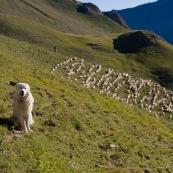 Chien de berger (patou, chien de montagne des pyrÈnnÈes) en train de poser devant son troupeau de brebis dont il assure la protection.  Brebis en lignes dans les crails ‡ l'arriËre plan, ainsi que la bergËre.
