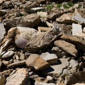 Brebis morte en train d'Ítre enterrÈ dans un pierrier, pour Èviter aux chiens de berger de les manger et de prendre go˚t au sang.