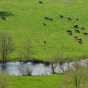 Pature ‡ vaches, vallÈe de l'Aa, au bord de la riviËre l'Aa. Troupeau de vaches.  Vue de dessus (depuis les plateaux calcaires).