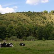 Mont du GÈant en arriËre plan (Coteaux de l'Aa). Vaches au premier plan.