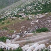 Troupeau de brebis rentrant le soir dans leur enclos. Filé, temps de pose long.  En montagne, dans les alpes, travail des bergers.