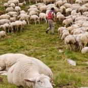 Brebis en premier plan, dans la montagne, en train de chaumer aprËs avoir paturÈ. En arriËre plan le troupeau et le berger qui repËre les brebis blessÈe, en les attrapant avec sa canne pour les soigner.