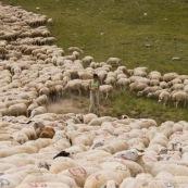 Troupeau de brebis en montagne entourant la bergËre, avec un cercle de distance de sÈcuritÈ ! BergËre (berger) en observation des brebis malades.