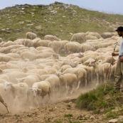 Berger en montagne avec son troupeau de brebis et sa canne. PoussiËre Èmanant du troupeau.