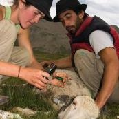 Berger et bergËre prodiguant des soins en montagne ‡ une brebis, allongÈe ‡ terre, blessÈe ‡ l'oreille : dÈsinfection et pose de pansement.