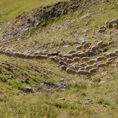 DÈpart de la bergËre avec son troupeau de brebis en montagne dans les Alpes, avec sa canne et son sac ‡ dos, pour la journÈe loin de la cabane de berger.
