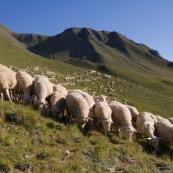 Troupeau de brebis, vue de devant, en premiËre ligne, a l'assaut des montagnes et des paturages (Alpes). Le berger est en arriËre plan. Le troupeau forme une premiËre rangÈe alignÈe, derriËre les brebis sont alignÈes dans les crails.  Les montagne sur fond bleu immaculÈ en arriËre plan, en pleine nature, dans les alpages.