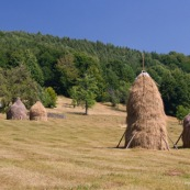 Meules de foin dans la campagne roumaine, ‡ l'ancienne, constituÈ d'un piquet au centre, le foin est amassÈ dessus. D'autres piquets en bois viennent maintenir l'ensemble. La meule se conserve ainsi.  Petite maison ‡ toit en tole visible en arriËre plan. Roumanie.