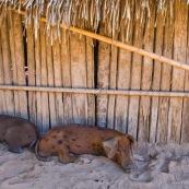 Cochons. En train de dormir.