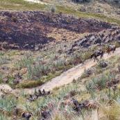 Un Quechua (Quichuas, Kichuas, Kichwas ou Kechuas), dans les Andes à 3500 metres d'altitude, descend de la montagne, avec ses chevaux, pour rejoindre la ville la plus proche, à 6 heures de marche. Pérou. Indiens.