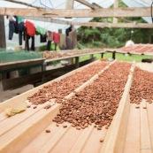 Cacao d'Amazonie