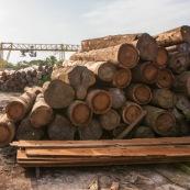 Scierie en Guyane. Bois massif. Grumes, troncs. Aiguisage des lames.