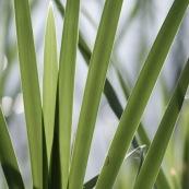 Feuille herbe évantail