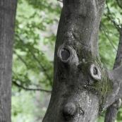 Arbre en forme de visage, tete d'homme, nez et yeux