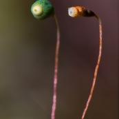 Sporophytes de mousse.  Le sporophyte est muni d'un pied enchassÈ dans le gamÈtophyte et d'une capsule de spores portÈe par une sorte de tige appelÈe soie.  Un sporophyte non ouvert, un sporophyte atyant dÈja libÈrÈ ses spores.