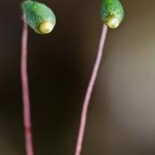 """Sporophytes de mousse.  Le sporophyte est muni d'un pied enchassÈ dans le gamÈtophyte et d'une capsule de spores portÈe par une sorte de tige appelÈe soie. Deux sporophytes semblant """"observer"""" quelquu hose, comme deux yeux montÈs sur une tige."""
