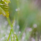 Paysage de sous-bois, au petit matin, herbe et feuilles couvertes de rosÈe.  Feuille de chÍne visible.