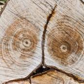 Coupe d'arbre, laissant apparaÓtre un visage effrayÈ.  Gros plan sur la coupe. Tronc d'arbre coupÈ.