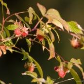Framboisier sauvage avec des framnoises m˚res : vue d'un rameau. Classe : Magnoliopsida Ordre : Rosales Famille : Rosaceae EspËce : Rubus idaeus