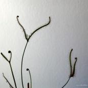 Plante carnivore droséra