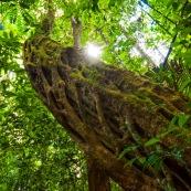 Enorme liane en foret tropicale, amazonienne, en Guyane. A l'interieur du parc amazonien de Guayne.