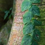 Monstera sp. feuilles grimpant sur un tronc d'arbre