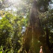 Hura crepitans L. Sablier sentier gros arbres à Saül en Guyane française. Arbre remarquable. Avec une jeune fille.