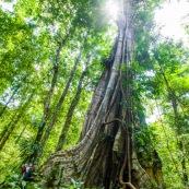 Ficus arbre tronc impressionnant à Saül en Guyane sur les sentier gros arbres. Forêt amazonienne arbre remarquable. forêt tropicale.  Avec un Homme et son bébé sur le dos.