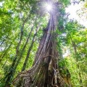 Ficus arbre tronc impressionnant à Saül en Guyane sur les sentier gros arbres. Forêt amazonienne arbre remarquable. forêt tropicale. JEnfant sur l'arbre.