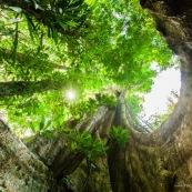 Ficus arbre tronc impressionnant à Saül en Guyane sur les sentier gros arbres. Forêt amazonienne arbre remarquable. forêt tropicale.