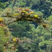 Bromeliacées et epiphytes sur un arbre