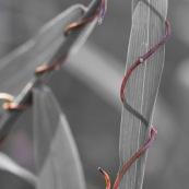 Herbe enlacée par une autre plante qui s'enroule autour. Paysage graphique.
