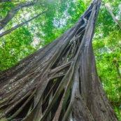 Ficus etrangleur Saül Guyane. Arbre remarquable. Figuier etrangleur. Forêt tropicale. Sentier roche bateau.