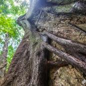 Ficus etrangleur Saül Guyane. Arbre remarquable. Figuier etrangleur. Forêt tropicale.