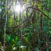 Forêt amazonienne Guyane Saül lianes  foêt tropicale. Soleil.