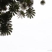 Cecropia sciadophylla