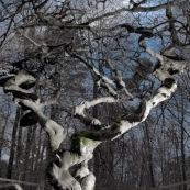 HÍtre tortillard, Fau de Verzy. Dans le site des Faux de Verzy, sur la montagne de Reims, vue d'un hÍtre tortillard en hiver. Branches tordues.   Fagus sylvatica Tortuosa Group