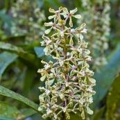 Orchidée Huampal