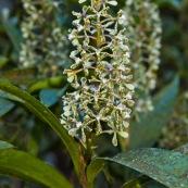 Prostechea vespa. Orchidée en fleurs.