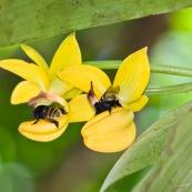 Mormodes sp. avec bourdon (orchidée) fleur